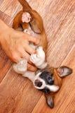 与所有者的小狗戏剧 免版税库存照片