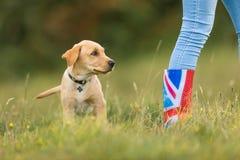与所有者的拉布拉多小狗 免版税库存图片