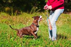 与所有者的狗stafordshirsky狗戏剧 免版税库存图片