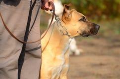 与所有者的被束缚的狗 免版税库存照片