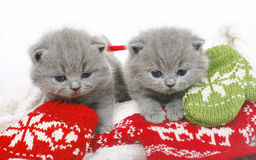 与手套的二英国小猫 库存图片