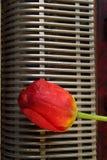与手风琴和红色郁金香花的构成 免版税图库摄影