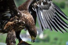 与扩张的翼的老鹰 免版税库存照片