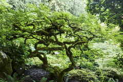 与扭转的分支的盆景树 免版税库存照片