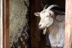 与扭转的垫铁的成人白色山羊看在谷仓的门,在农场的生活外面 免版税库存照片