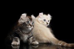 与扭转的耳朵的两只美国卷毛小猫隔绝了黑背景 库存图片