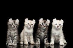 与扭转的耳朵的四只美国卷毛小猫隔绝了黑背景 免版税库存图片