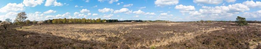 与扶移树的欧石南丛生的荒野在绽放,荷兰 库存图片