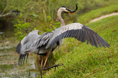 与抓住的伟大蓝色的苍鹭的巢 免版税图库摄影