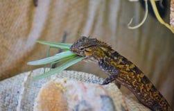 与抓住的共同的蜥蜴 库存照片