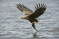 与抓住的狩猎老鹰 图库摄影