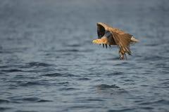 与抓住的狩猎老鹰 库存图片