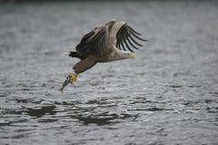 与抓住的狩猎老鹰 库存照片