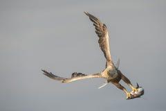 与抓住的白被盯梢的老鹰 免版税库存图片