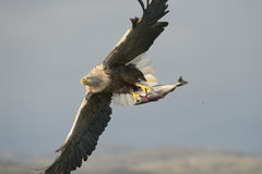 与抓住的白被盯梢的老鹰 图库摄影