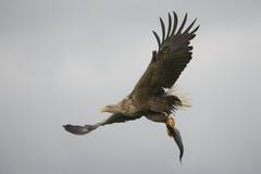 与抓住的白被盯梢的老鹰 库存照片