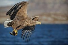 与抓住的白被盯梢的老鹰 免版税库存照片