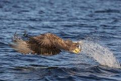 与抓住的白被盯梢的老鹰 免版税图库摄影