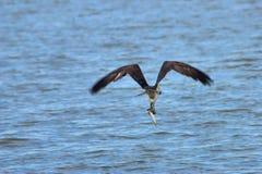 与抓住的白鹭的羽毛 库存照片