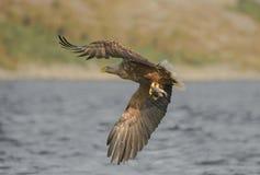 与抓住的老鹰 免版税图库摄影