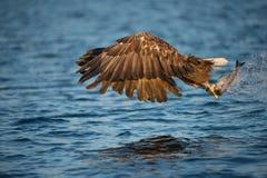 与抓住的老鹰 免版税库存图片