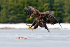 与抓住鱼在多雪的冬天,雪的白被盯梢的老鹰在森林栖所,登陆在冰 行动野生生物从欧元的冬天场面 库存照片