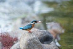 与抓住,Kanha国立公园,中央邦,印度的共同的翠鸟 库存照片