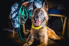 与护卫犬巡逻的cynologist 免版税库存图片
