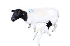 与护理羊羔的被隔绝的绵羊 免版税图库摄影