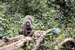 与护理婴儿的狒狒家庭 免版税库存图片
