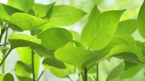 与抽象被弄脏的叶子和明亮的夏天阳光的新健康绿色生物背景 股票录像
