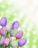与抽象绿色bokeh背景和太阳光芒的多白色桃红色和紫色复活节春天郁金香 库存照片