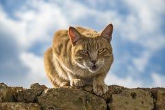 与担任主角在照相机的金黄眼睛的成人离群橙色虎斑猫,猫叫为一些爱和喜爱在一个石墙上在马耳 免版税图库摄影