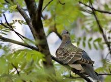 与拉丁名字斑鸠的野生鸠,罕见和谨慎鸟 免版税库存图片