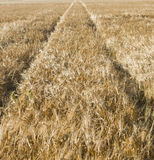 与拖拉机轨道的麦地  库存照片
