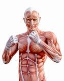 与拳头战斗的人的解剖学身体肌肉 库存照片