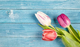 与拷贝空间的三新鲜的春天郁金香 库存图片