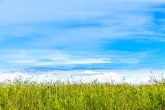 与拷贝空间的夏天视图 芦苇天际反对蓝天的 免版税库存照片