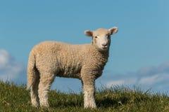 与拷贝空间的好奇羊羔 免版税图库摄影