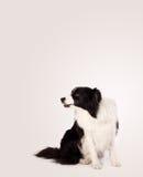 与拷贝空间的逗人喜爱的博德牧羊犬 图库摄影