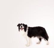 与拷贝空间的逗人喜爱的博德牧羊犬 库存图片