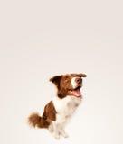 与拷贝空间的逗人喜爱的博德牧羊犬 库存照片