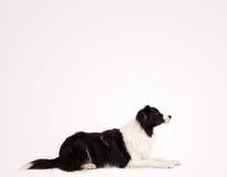 与拷贝空间的逗人喜爱的博德牧羊犬 免版税库存照片