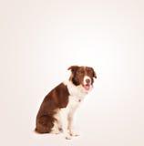 与拷贝空间的逗人喜爱的博德牧羊犬 免版税图库摄影