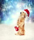 与拿着圣诞节中看不中用的物品的圣诞老人帽子的达克斯猎犬狗 库存图片