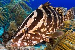 与拿骚石斑鱼的潜水的遭遇 免版税库存图片