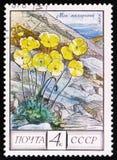 与指定`罂粟属Radicatum `的北极鸦片,大约1975年 免版税图库摄影