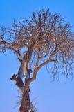 与损坏的吠声的干燥树反对清楚的蓝天 免版税库存图片
