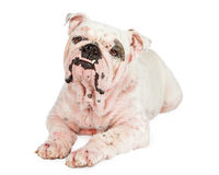 与掉头发的牛头犬从Mange 免版税库存照片