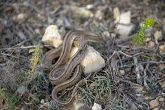 与推出分叉的舌头,西班牙的梯子蛇 免版税图库摄影